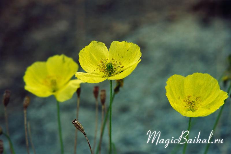 Кто на какой цветок похож Lake-baikal-l39f14